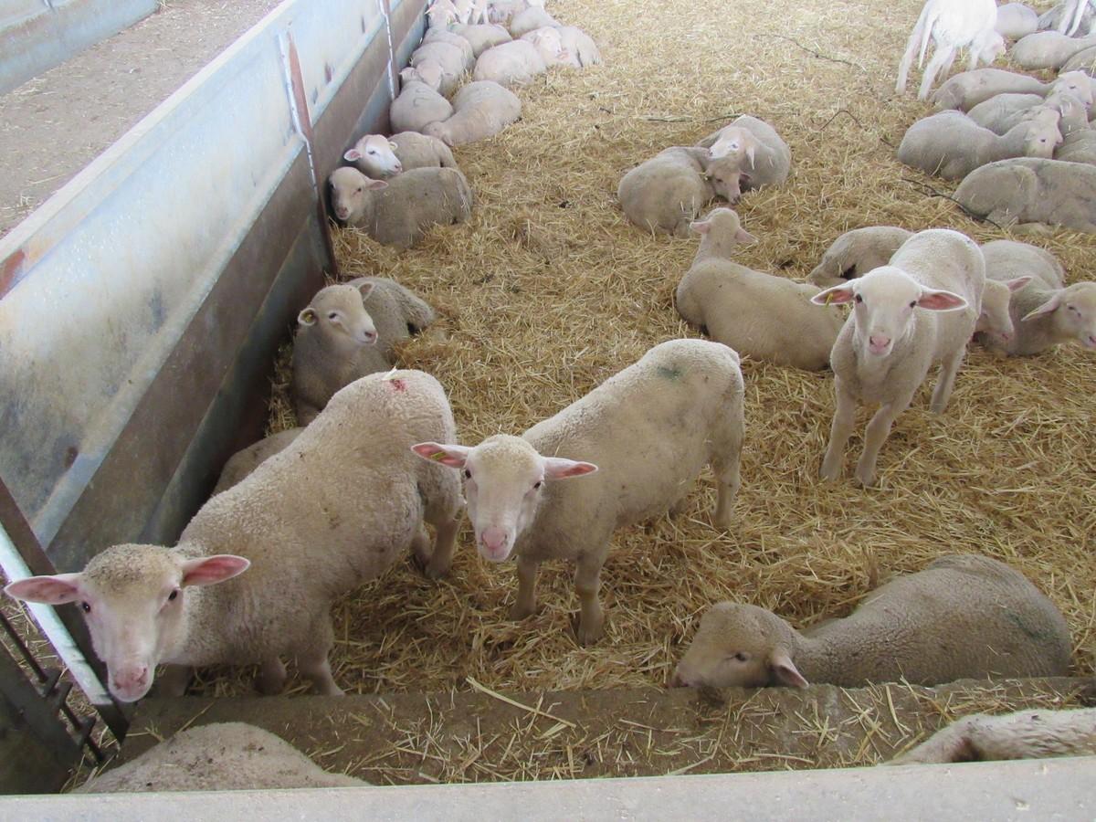 Corderos y lechazos pierden 10 céntimos por kilo