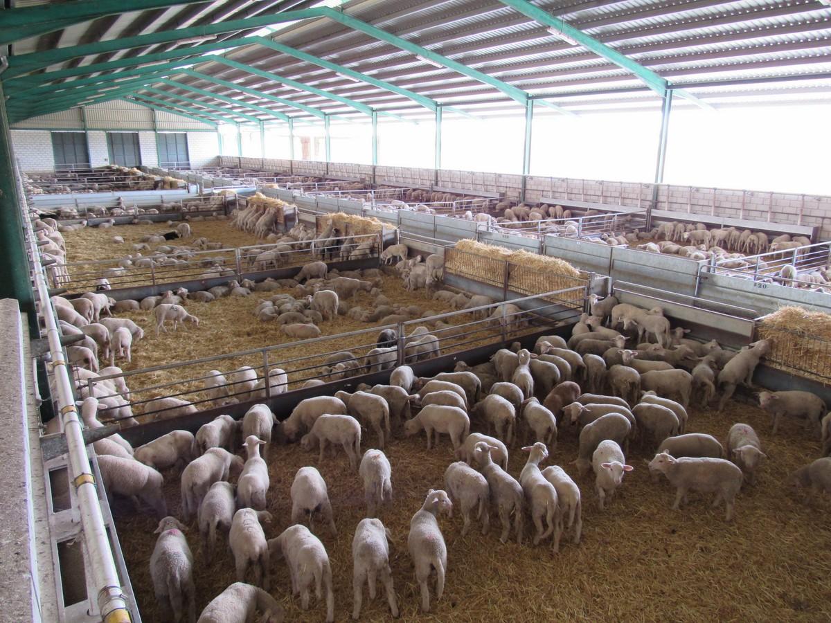 Bajada del cabrito lechal y los corderos